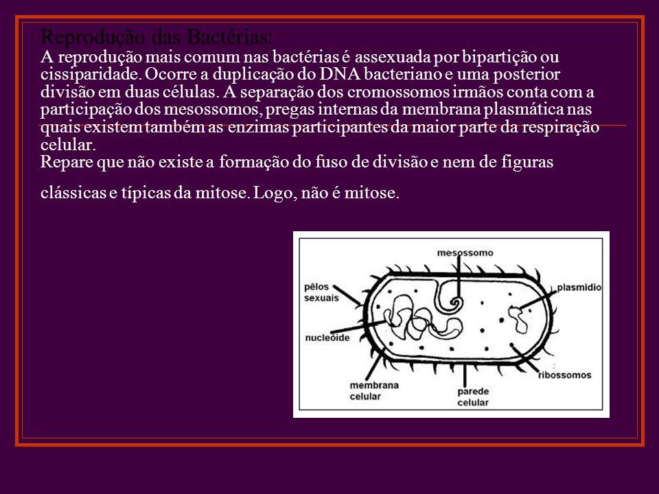 Reprodução das Bactérias: A reprodução mais comum nas bactérias é assexuada por bipartição ou cissiparidade. Ocorre a duplicação do DNA bacteriano e u