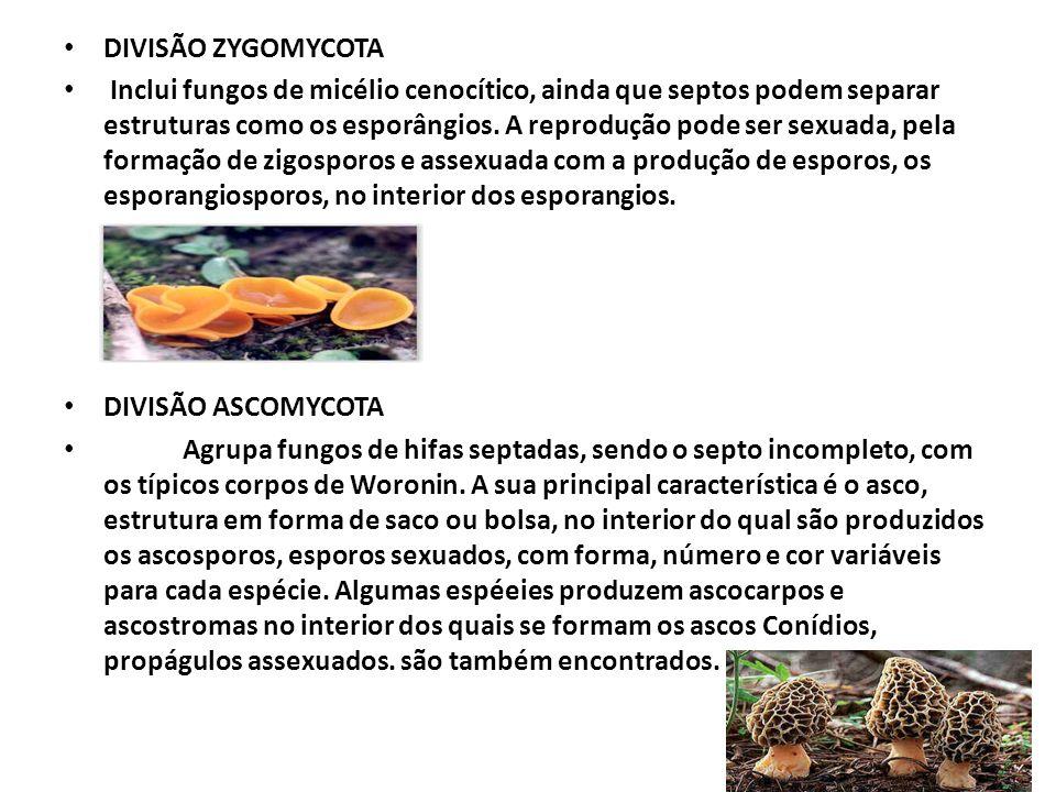 DIVISÃO ZYGOMYCOTA Inclui fungos de micélio cenocítico, ainda que septos podem separar estruturas como os esporângios. A reprodução pode ser sexuada,