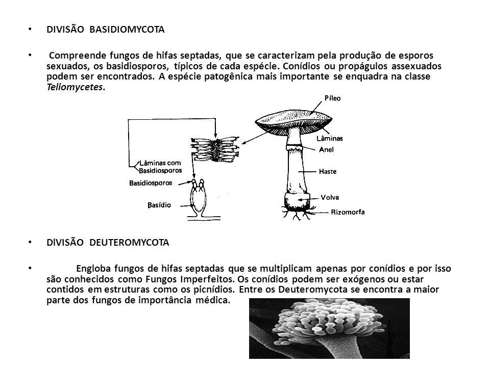 DIVISÃO BASIDIOMYCOTA Compreende fungos de hifas septadas, que se caracterizam pela produção de esporos sexuados, os basidiosporos, típicos de cada es