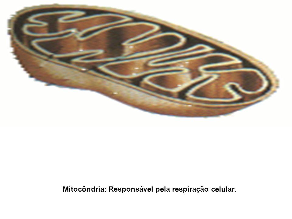 Mitocôndria: Responsável pela respiração celular.