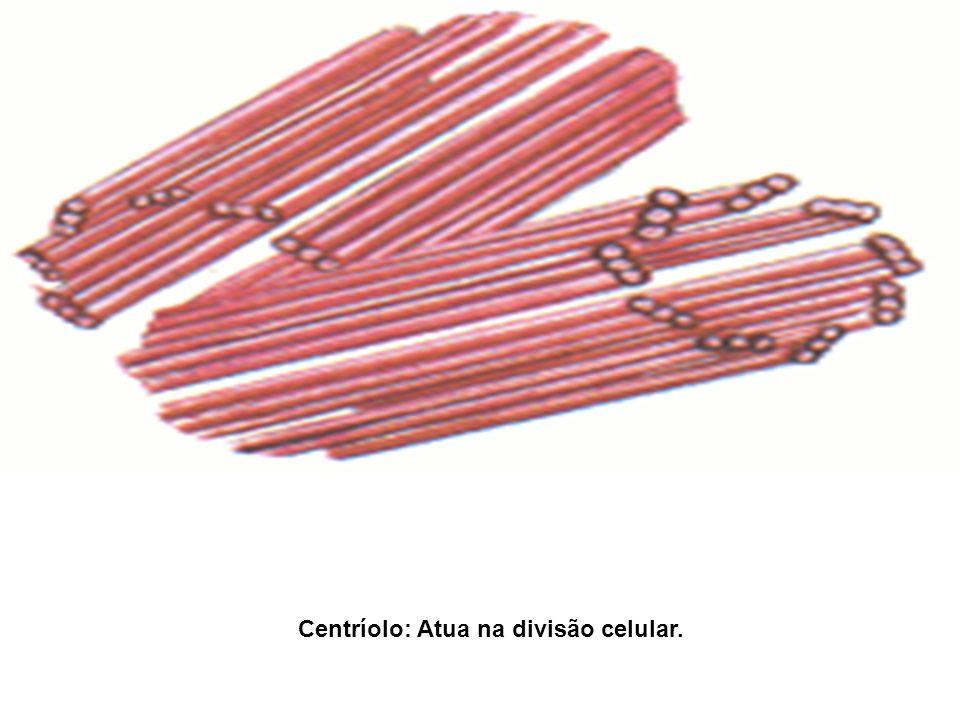 Centríolo: Atua na divisão celular.