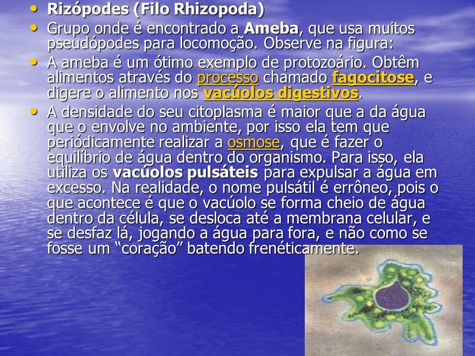 Rizópodes (Filo Rhizopoda) Rizópodes (Filo Rhizopoda) Grupo onde é encontrado a Ameba, que usa muitos pseudópodes para locomoção. Observe na figura: G