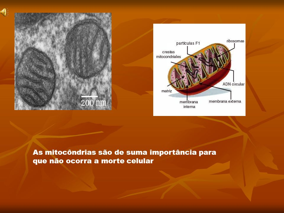 As mitocôndrias são de suma importância para que não ocorra a morte celular