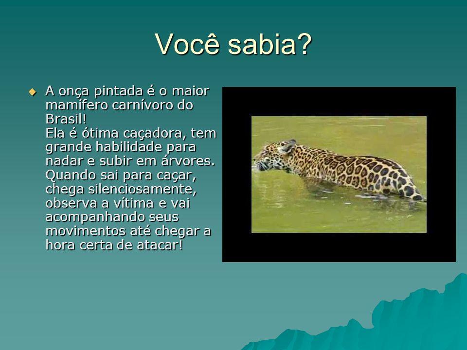 Você sabia. A onça pintada é o maior mamífero carnívoro do Brasil.