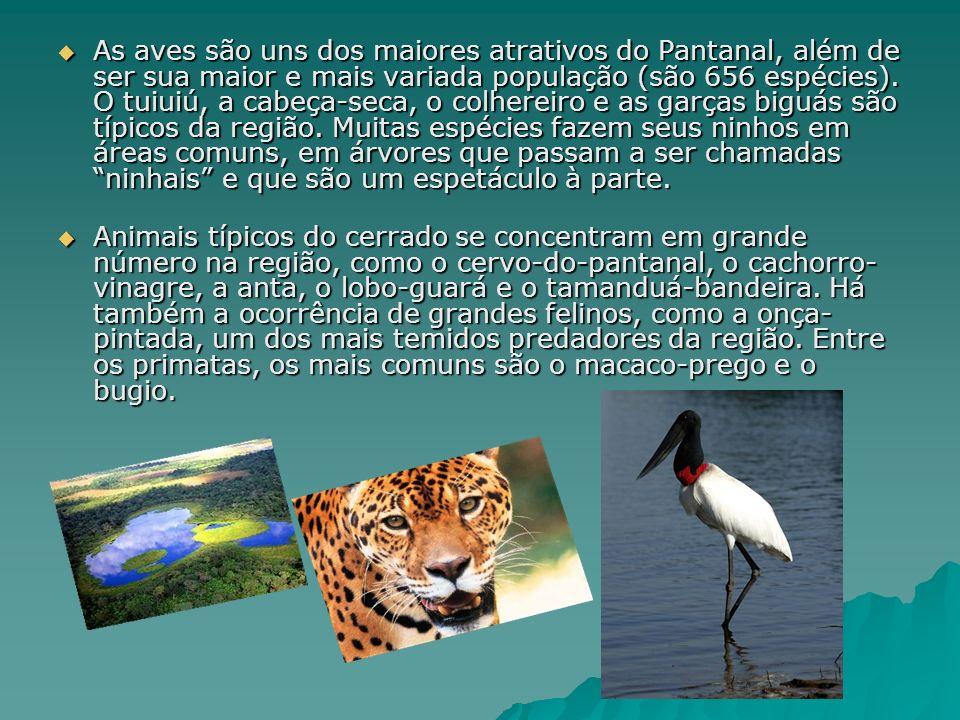 As aves são uns dos maiores atrativos do Pantanal, além de ser sua maior e mais variada população (são 656 espécies).