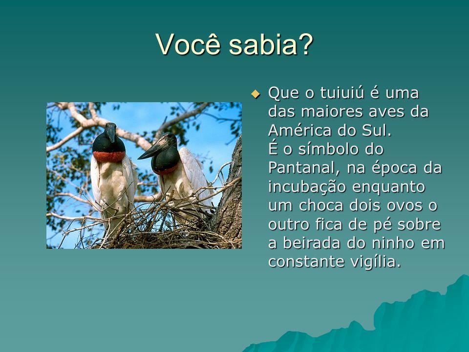 Você sabia. Que o tuiuiú é uma das maiores aves da América do Sul.