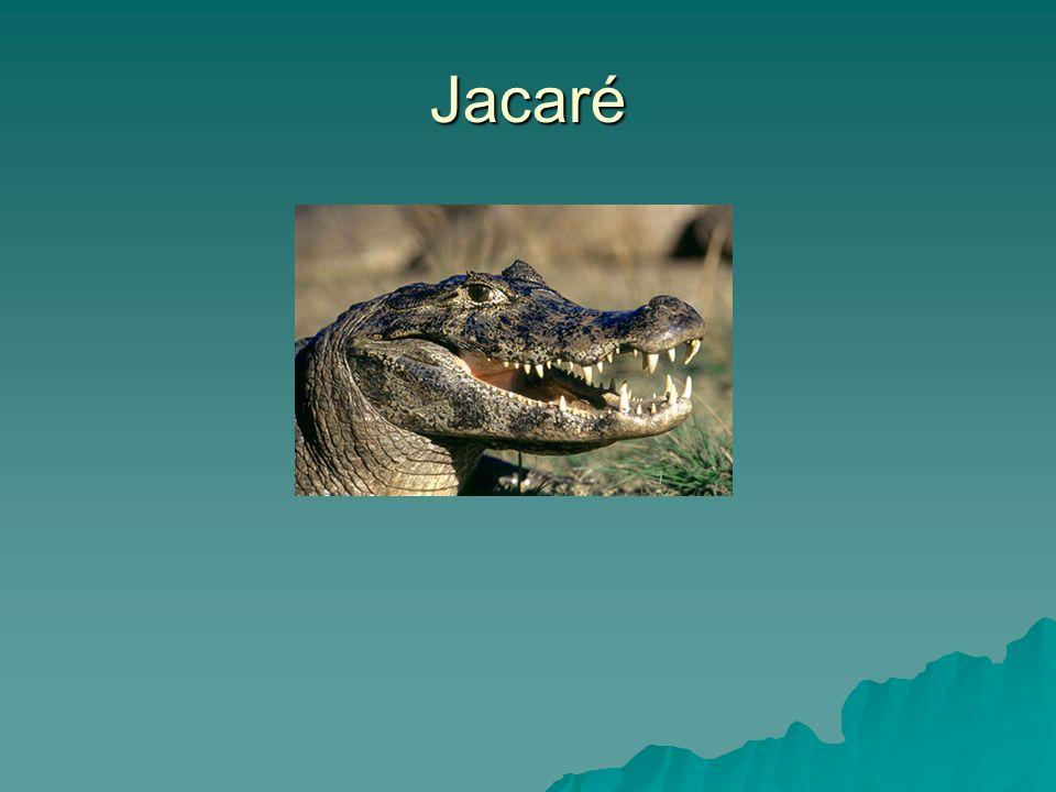 Ficha do bicho FICHA TÉCNICA DO JACARÉ Nome: Jacaré do pantanal (caiman crocodilus) FICHA TÉCNICA DO JACARÉ Nome: Jacaré do pantanal (caiman crocodilus) Comprimento: Até 3 metros Comprimento: Até 3 metros Onde vive: Norte da Argentina até o sul da Amazonas e Pantanal Onde vive: Norte da Argentina até o sul da Amazonas e Pantanal Alimentação: peixes, caramujos e insetos.