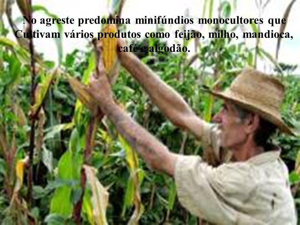 No agreste predomina minifúndios monocultores que Cultivam vários produtos como feijão, milho, mandioca, café e algodão.