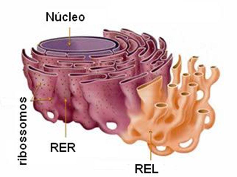 Tipos de retículas O retículo endoplasmático ou ergastoplasma, formado a partir da invaginação da membrana plasmática, constitui uma rede membranosa que pode ter morfologia tubular ou de pilhas achatadas.
