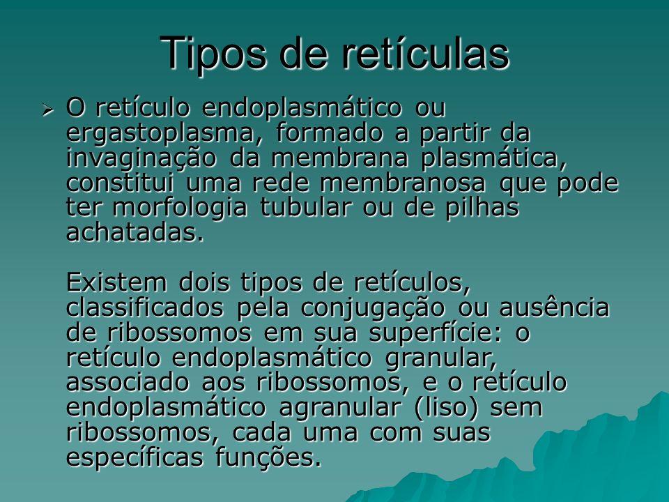 Retículo endoplasmático liso O retículo endoplasmático liso ou agranular é formado por sistemas de túbulos cilíndricos e sem ribossomos aderidos a membrana.