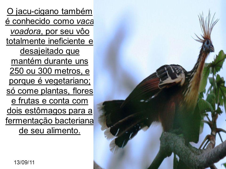 13/09/11 O jacu-cigano também é conhecido como vaca voadora, por seu vôo totalmente ineficiente e desajeitado que mantém durante uns 250 ou 300 metros, e porque é vegetariano; só come plantas, flores e frutas e conta com dois estômagos para a fermentação bacteriana de seu alimento.