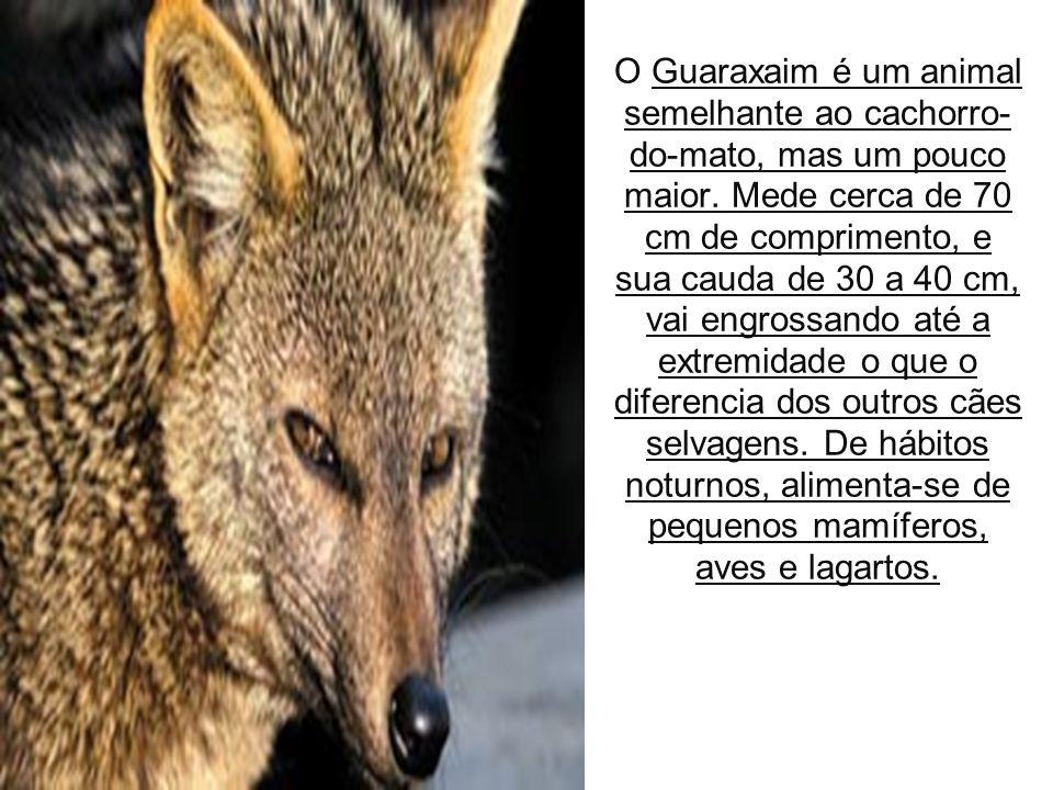 13/09/11 O Guaraxaim é um animal semelhante ao cachorro- do-mato, mas um pouco maior.