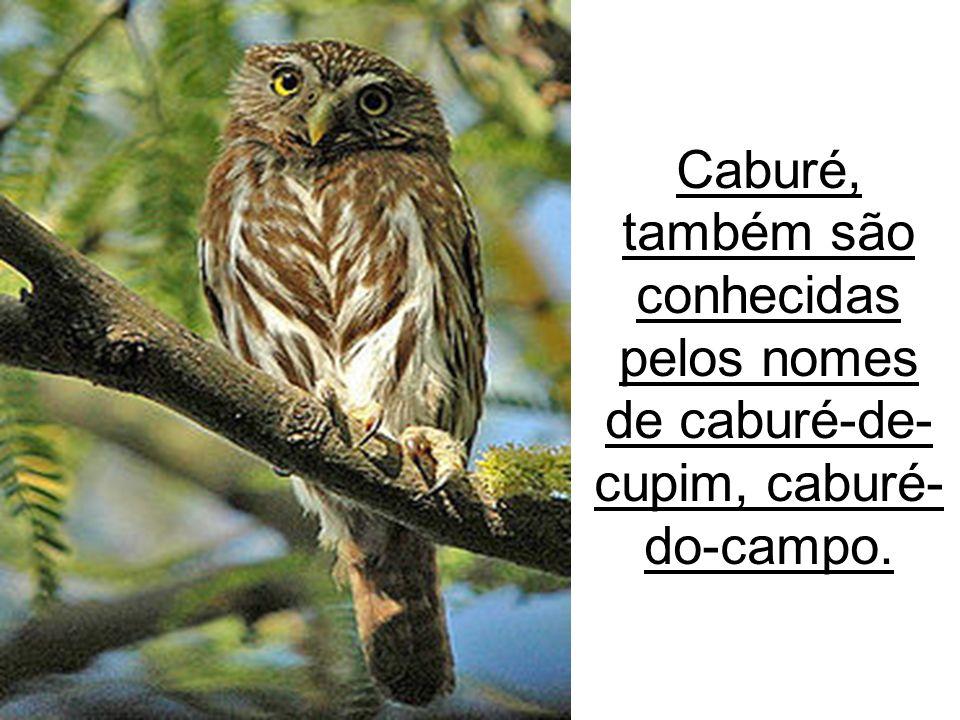 13/09/11 Caburé, também são conhecidas pelos nomes de caburé-de- cupim, caburé- do-campo.