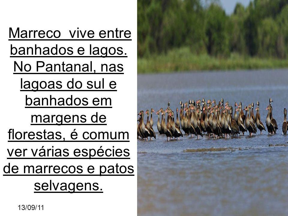 13/09/11 Marreco vive entre banhados e lagos.