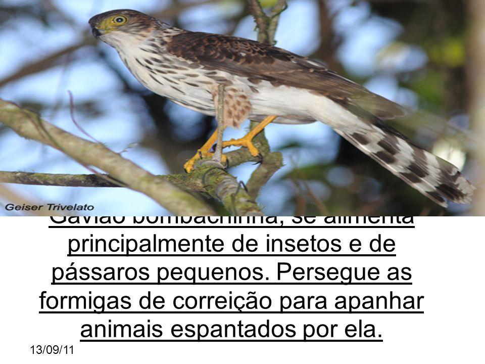 13/09/11 Gavião bombachinha, se alimenta principalmente de insetos e de pássaros pequenos.
