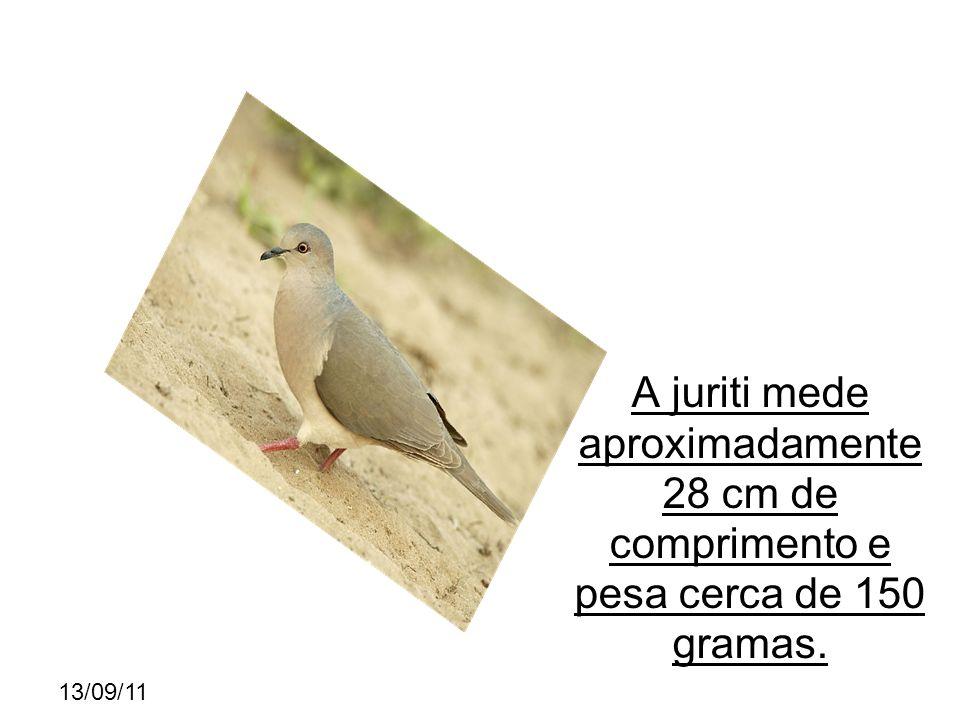 13/09/11 A juriti mede aproximadamente 28 cm de comprimento e pesa cerca de 150 gramas.