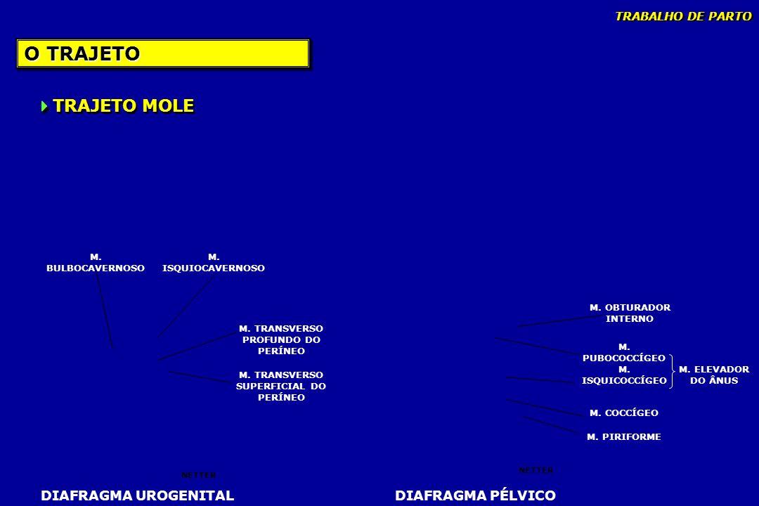 O TRAJETO M. BULBOCAVERNOSO M. ISQUIOCAVERNOSO M. TRANSVERSO SUPERFICIAL DO PERÍNEO M. TRANSVERSO PROFUNDO DO PERÍNEO DIAFRAGMA UROGENITAL NETTER TRAJ