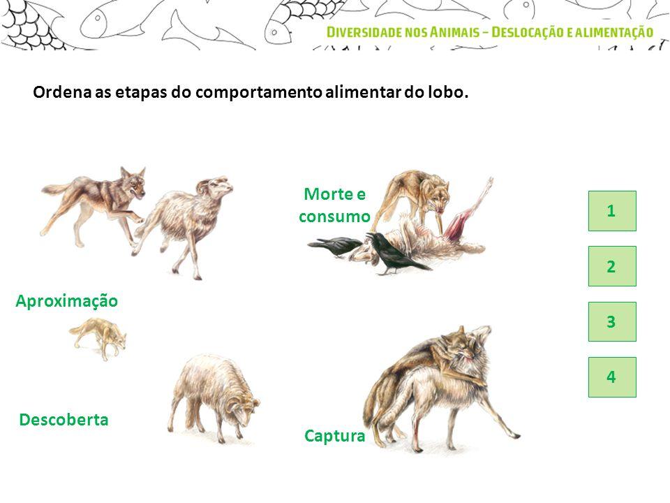 Descoberta Aproximação Captura Ordena as etapas do comportamento alimentar do lobo. 4 3 2 1 Morte e consumo