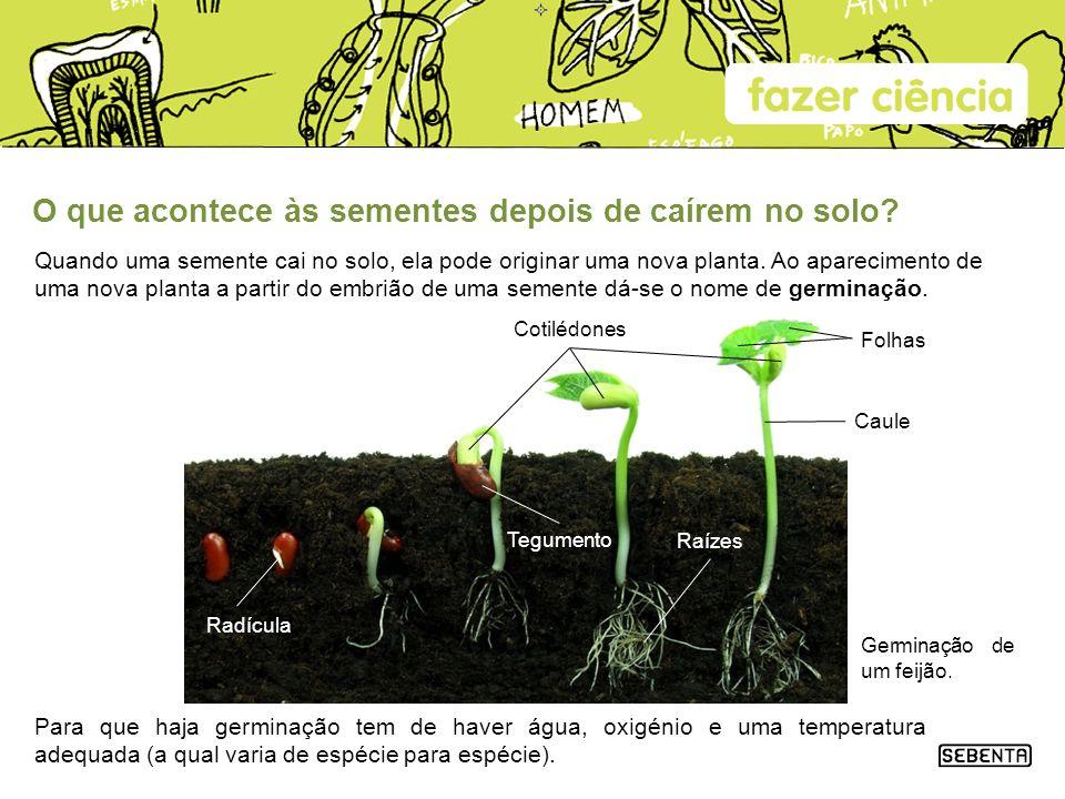 O que acontece às sementes depois de caírem no solo? Quando uma semente cai no solo, ela pode originar uma nova planta. Ao aparecimento de uma nova pl