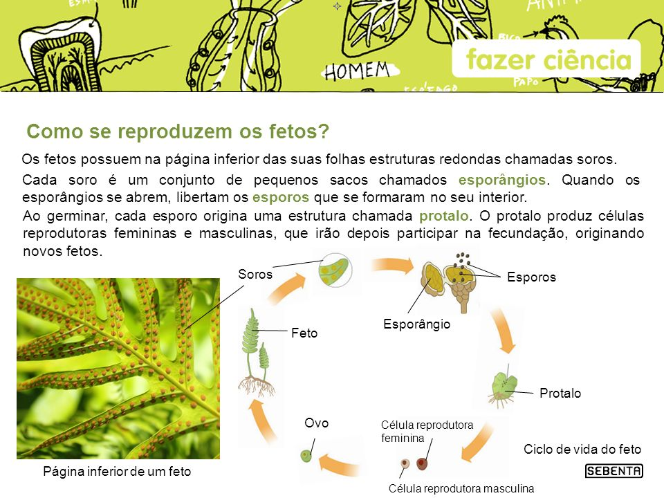 Como se reproduzem os fetos? Os fetos possuem na página inferior das suas folhas estruturas redondas chamadas soros. Página inferior de um feto Célula