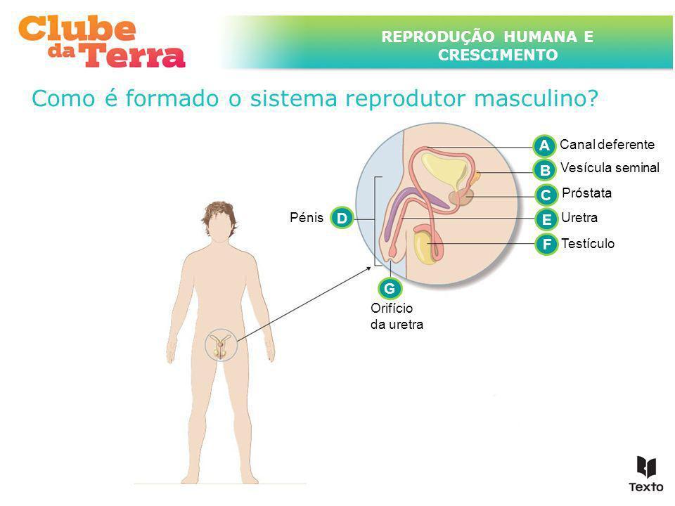 TÍTULO DO ASSUNTO A SER TRATADO NESTE POWERPOINT QUE TEM UM TÍTULO GRANDE REPRODUÇÃO HUMANA E CRESCIMENTO Como é formado o sistema reprodutor masculin
