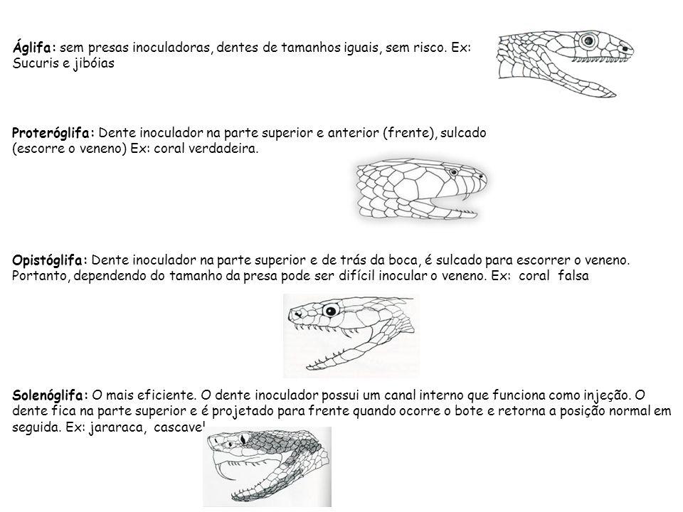Áglifa: sem presas inoculadoras, dentes de tamanhos iguais, sem risco. Ex: Sucuris e jibóias Proteróglifa: Dente inoculador na parte superior e anteri