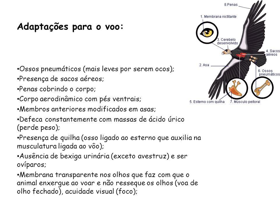 Adaptações para o voo: Ossos pneumáticos (mais leves por serem ocos); Presença de sacos aéreos; Penas cobrindo o corpo; Corpo aerodinâmico com pés ven
