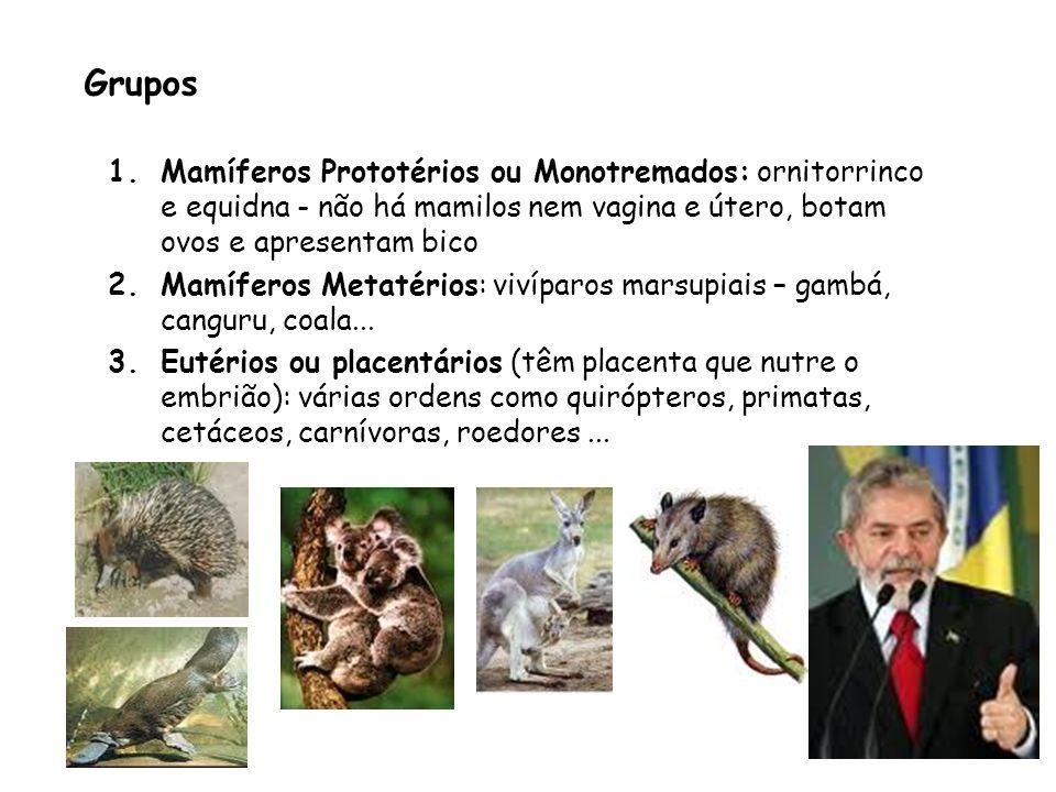Grupos 1.Mamíferos Prototérios ou Monotremados: ornitorrinco e equidna - não há mamilos nem vagina e útero, botam ovos e apresentam bico 2.Mamíferos M