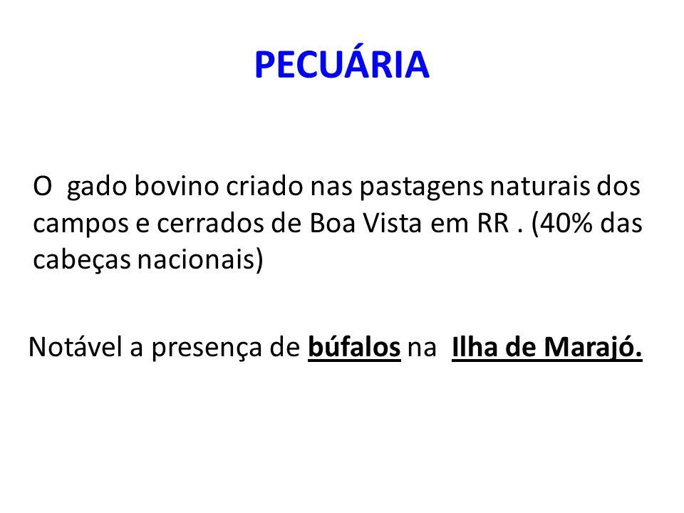 PECUÁRIA O gado bovino criado nas pastagens naturais dos campos e cerrados de Boa Vista em RR.
