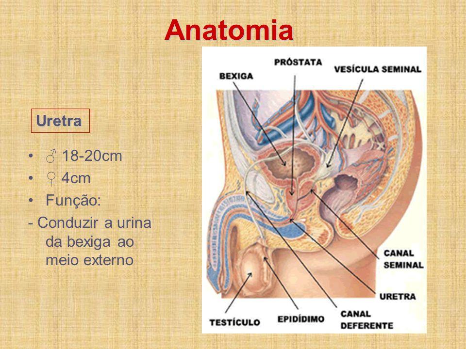 Anatomia 18-20cm 4cm Função: - Conduzir a urina da bexiga ao meio externo Uretra