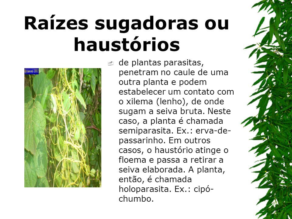 Raízes sugadoras ou haustórios de plantas parasitas, penetram no caule de uma outra planta e podem estabelecer um contato com o xilema (lenho), de ond