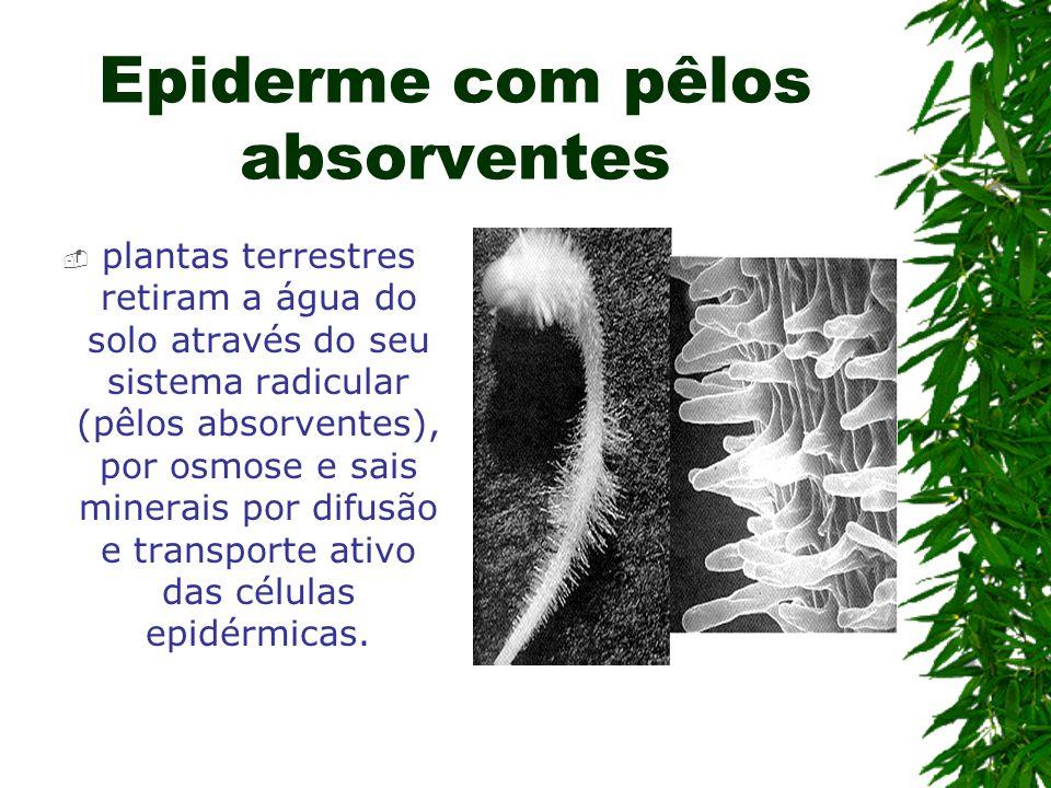 Epiderme com pêlos absorventes plantas terrestres retiram a água do solo através do seu sistema radicular (pêlos absorventes), por osmose e sais miner