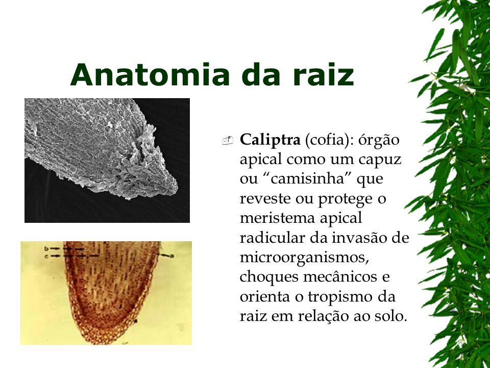 Anatomia da raiz Caliptra (cofia): órgão apical como um capuz ou camisinha que reveste ou protege o meristema apical radicular da invasão de microorga