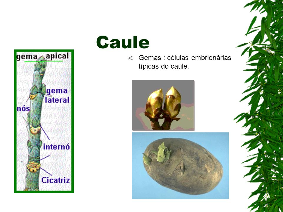 Gemas : células embrionárias típicas do caule.