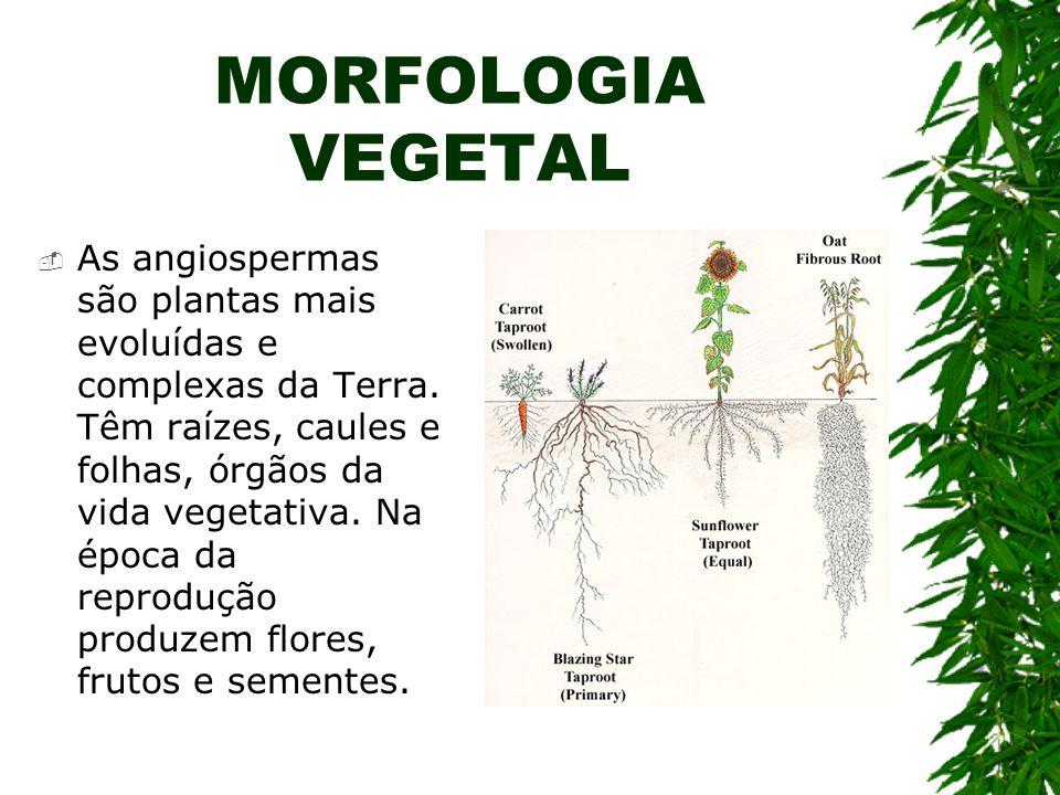 MORFOLOGIA VEGETAL As angiospermas são plantas mais evoluídas e complexas da Terra. Têm raízes, caules e folhas, órgãos da vida vegetativa. Na época d