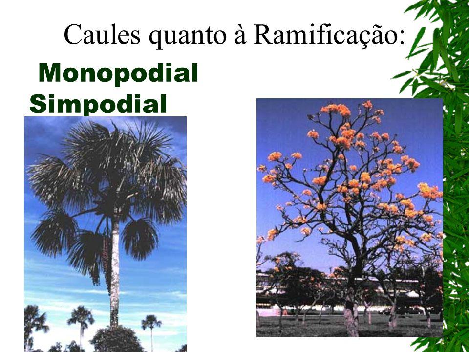 Monopodial Simpodial Caules quanto à Ramificação:
