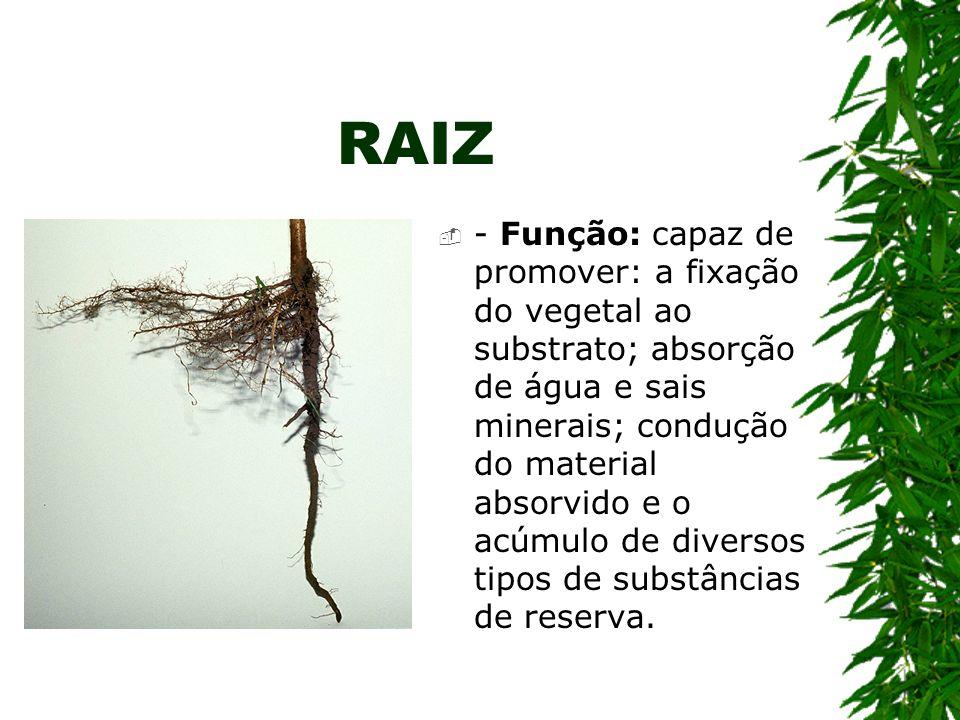 RAIZ - Função: capaz de promover: a fixação do vegetal ao substrato; absorção de água e sais minerais; condução do material absorvido e o acúmulo de d