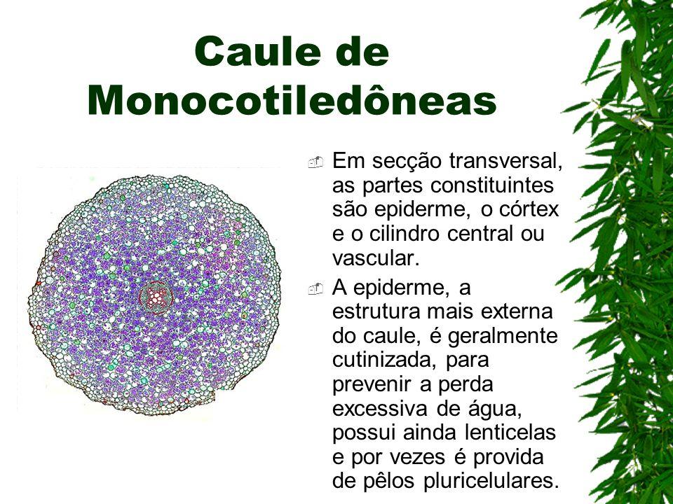 Caule de Monocotiledôneas Em secção transversal, as partes constituintes são epiderme, o córtex e o cilindro central ou vascular. A epiderme, a estrut