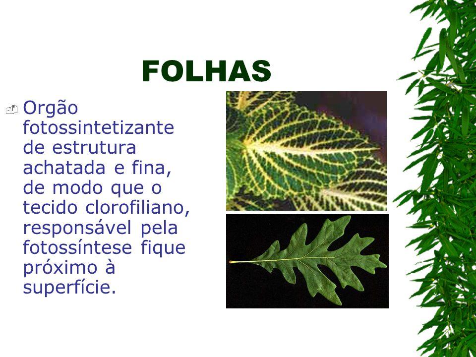 FOLHAS Orgão fotossintetizante de estrutura achatada e fina, de modo que o tecido clorofiliano, responsável pela fotossíntese fique próximo à superfíc