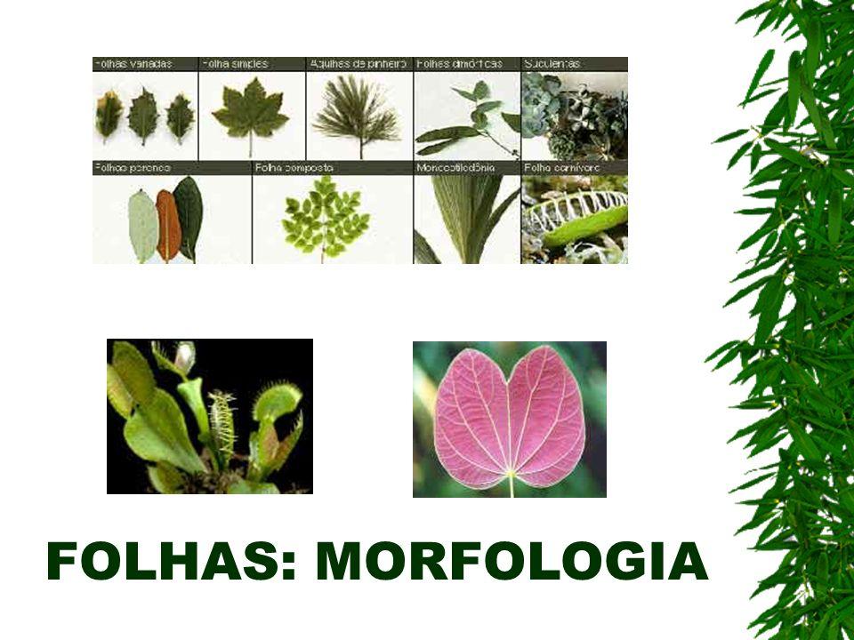 FOLHAS: MORFOLOGIA