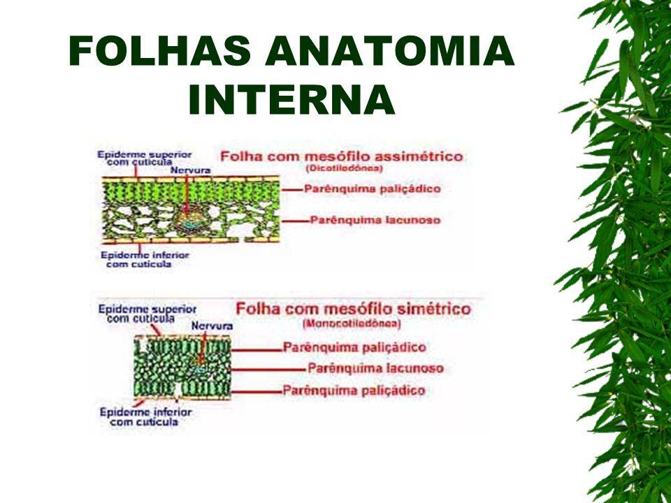 FOLHAS ANATOMIA INTERNA