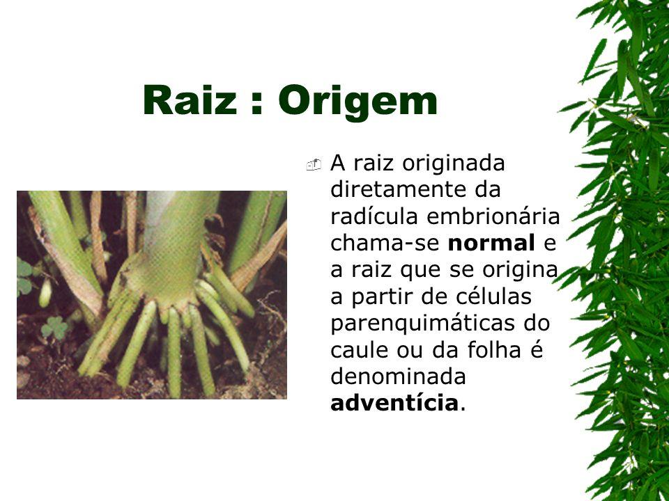 Raiz : Origem A raiz originada diretamente da radícula embrionária chama-se normal e a raiz que se origina a partir de células parenquimáticas do caul