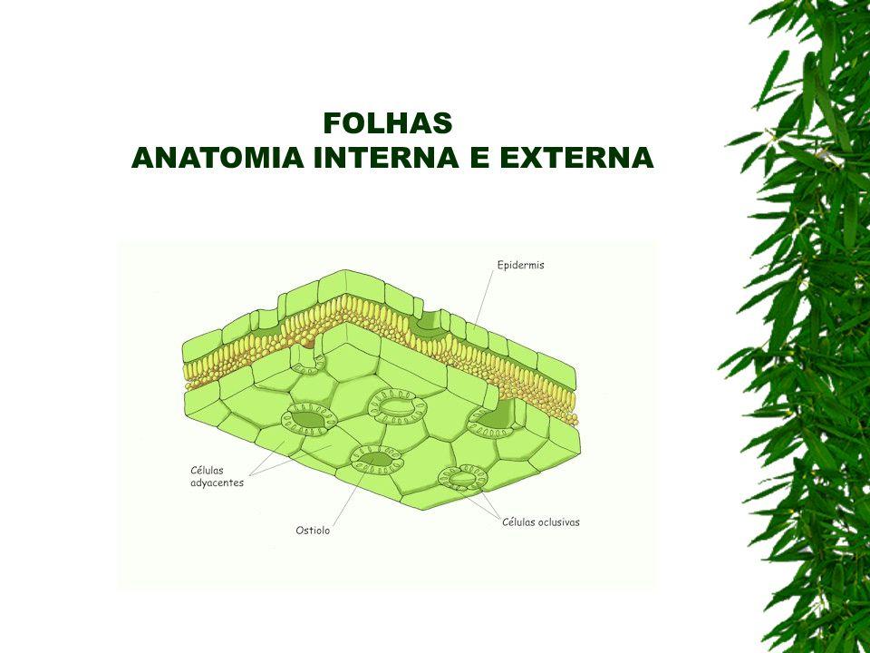 FOLHAS ANATOMIA INTERNA E EXTERNA