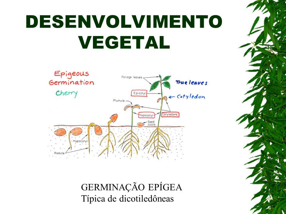 DESENVOLVIMENTO VEGETAL GERMINAÇÃO EPÍGEA Típica de dicotiledôneas