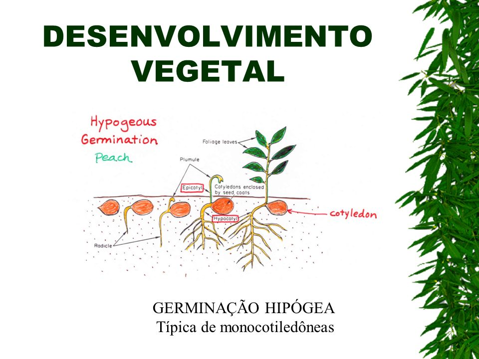 DESENVOLVIMENTO VEGETAL GERMINAÇÃO HIPÓGEA Típica de monocotiledôneas