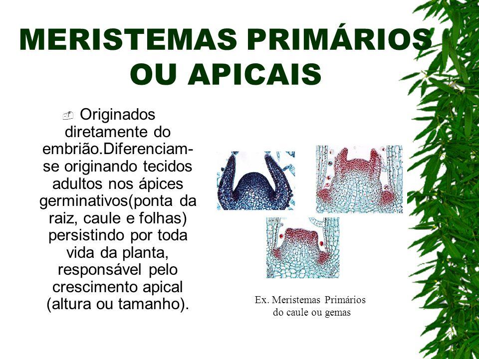 MERISTEMAS PRIMÁRIOS OU APICAIS Originados diretamente do embrião.Diferenciam- se originando tecidos adultos nos ápices germinativos(ponta da raiz, ca