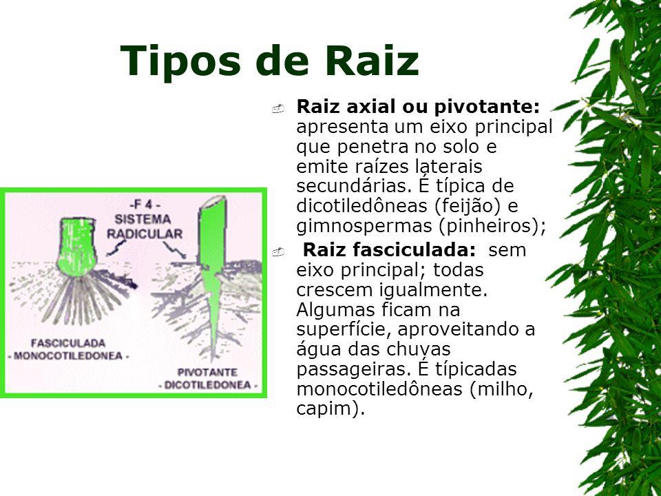 Tipos de Raiz Raiz axial ou pivotante: apresenta um eixo principal que penetra no solo e emite raízes laterais secundárias. É típica de dicotiledôneas