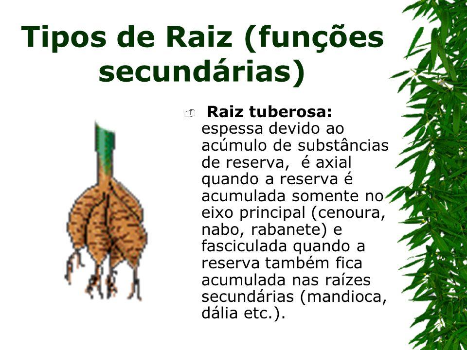 Tipos de Raiz (funções secundárias) Raiz tuberosa: espessa devido ao acúmulo de substâncias de reserva, é axial quando a reserva é acumulada somente n