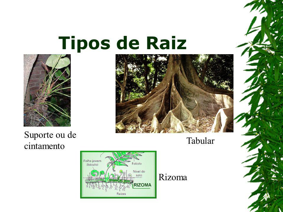 Tipos de Raiz Suporte ou de cintamento Rizoma Tabular