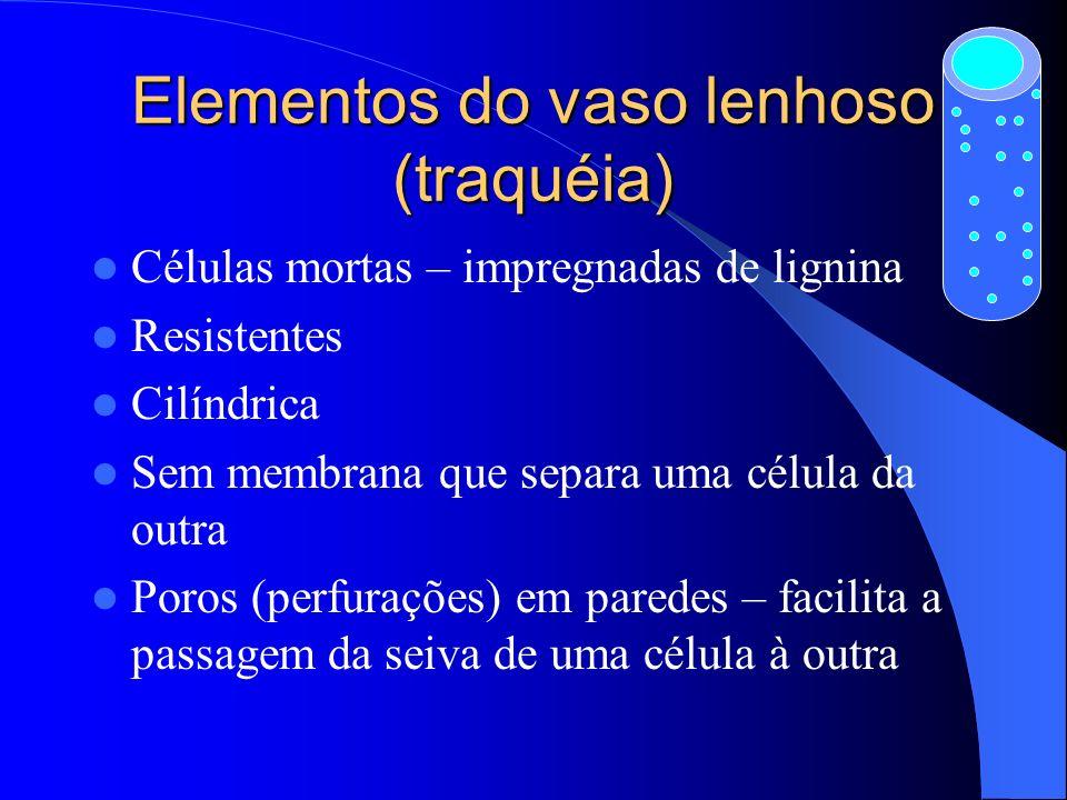 Elementos do vaso lenhoso (traquéia) Células mortas – impregnadas de lignina Resistentes Cilíndrica Sem membrana que separa uma célula da outra Poros